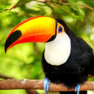 Toucan Bird - Obrázkek zdarma pro iPad 3
