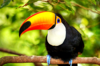 Toucan Bird Picture for Android, iPhone and iPad