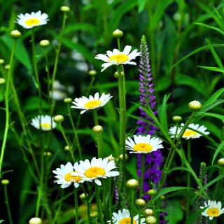 Daisies Field - Obrázkek zdarma pro 1024x1024