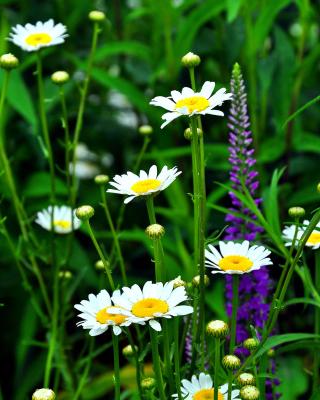Daisies Field - Obrázkek zdarma pro 352x416