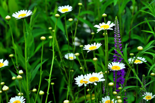 Daisies Field - Obrázkek zdarma pro 1024x600