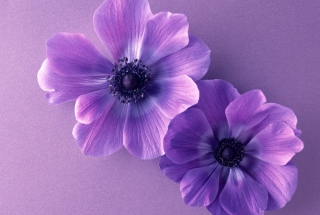 Free Violet Flowers Picture for Android, iPhone and iPad