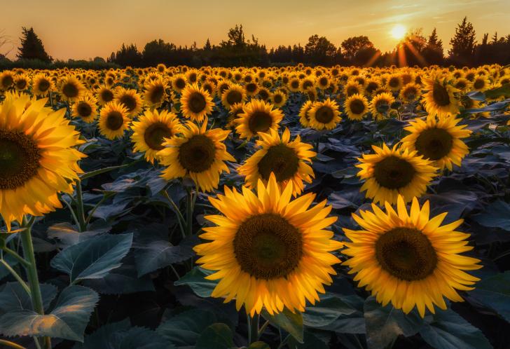 Sunflower Field In Evening wallpaper