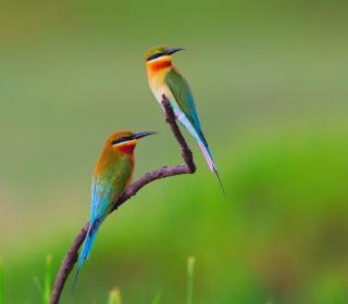 European bee-eater Birds - Obrázkek zdarma pro 1024x1024