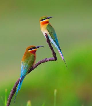 European bee-eater Birds - Obrázkek zdarma pro 128x160