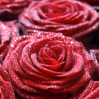 Macro Roses Dew - Obrázkek zdarma pro 208x208