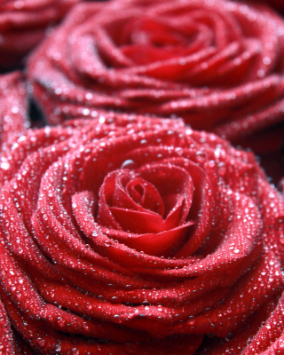 Macro Roses Dew - Obrázkek zdarma pro Nokia Asha 308