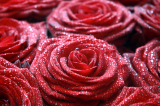 Macro Roses Dew sfondi gratuiti per cellulari Android, iPhone, iPad e desktop