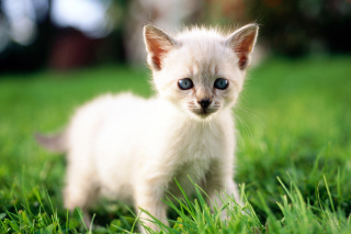 Thai Kitten Wallpaper for Android, iPhone and iPad