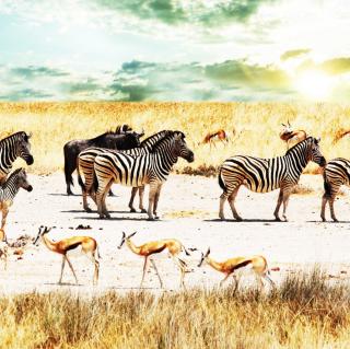Wild Life Zebras - Obrázkek zdarma pro 320x320