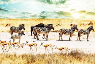 Wild Life Zebras - Obrázkek zdarma pro Fullscreen Desktop 1400x1050
