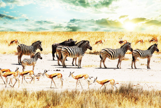 Wild Life Zebras - Obrázkek zdarma pro 1080x960