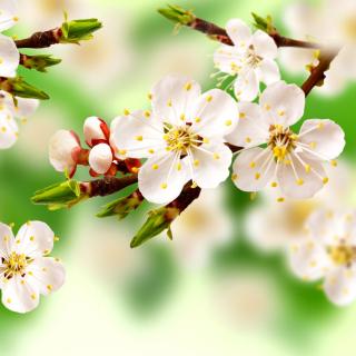 Spring Apple Tree - Obrázkek zdarma pro iPad mini 2