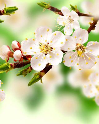 Spring Apple Tree - Obrázkek zdarma pro iPhone 3G