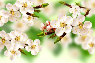 Spring Apple Tree - Obrázkek zdarma pro Samsung Galaxy Tab 4G LTE