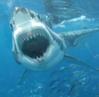 White Shark - Obrázkek zdarma pro 1024x1024