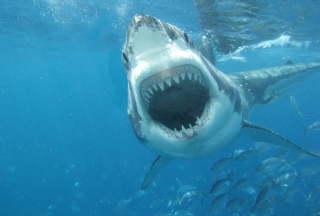 White Shark Picture for Android, iPhone and iPad