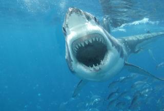 White Shark - Obrázkek zdarma pro Desktop Netbook 1366x768 HD