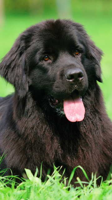 Screenshot №1 pro téma Newfoundland Dog 360x640