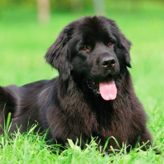 Newfoundland Dog - Obrázkek zdarma pro 208x208