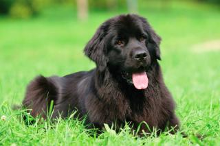 Newfoundland Dog - Obrázkek zdarma pro 640x480
