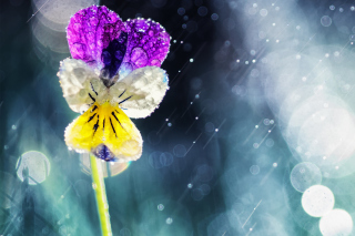 Pansy Flower Background for Android, iPhone and iPad