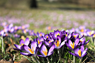 Crocus purple flowers Wallpaper for Android, iPhone and iPad