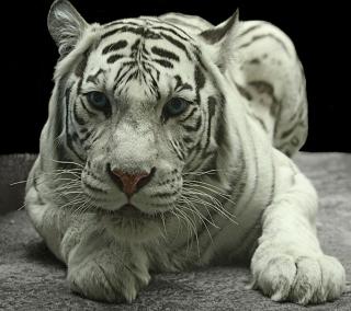 White Tiger - Obrázkek zdarma pro 208x208