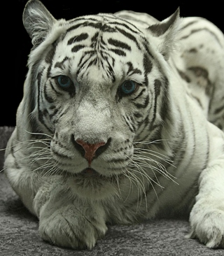 White Tiger - Obrázkek zdarma pro Nokia X3-02