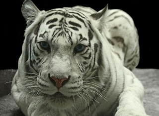 White Tiger - Obrázkek zdarma pro Nokia Asha 205