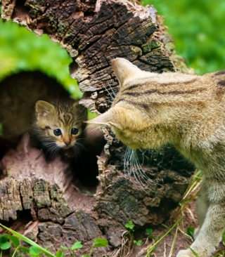 Little Kitten Hiding From Mother Cat - Obrázkek zdarma pro 240x320