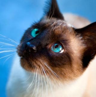 Siamese Cat With Blue Eyes - Obrázkek zdarma pro 208x208