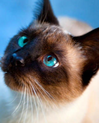 Siamese Cat With Blue Eyes - Obrázkek zdarma pro iPhone 6 Plus