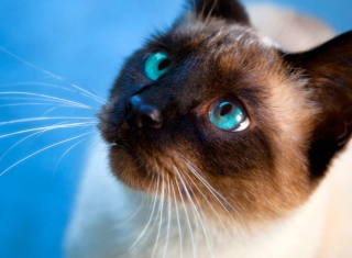 Siamese Cat With Blue Eyes - Obrázkek zdarma pro Widescreen Desktop PC 1920x1080 Full HD