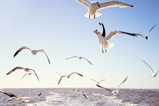 Free Seagulls Over Sea Picture for Android, iPhone and iPad