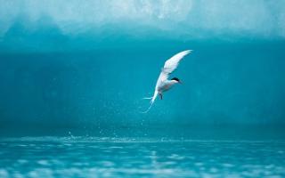 Обои Arctic Tern на андроид