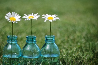 Daisies In Blue Glass Bottles - Obrázkek zdarma pro Android 1280x960