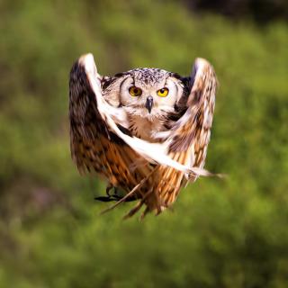 Owl Bird - Obrázkek zdarma pro 1024x1024