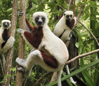 Lemurs On Trees - Obrázkek zdarma pro iPad