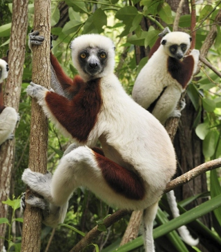 Lemurs On Trees - Obrázkek zdarma pro 240x432