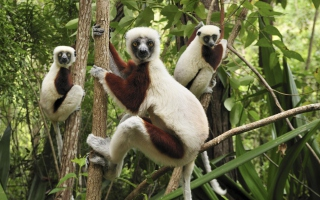 Free Lemurs On Trees Picture for Android, iPhone and iPad