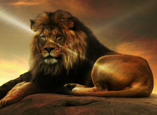 Lion Wallpaper for Android, iPhone and iPad