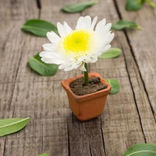 Chrysanthemum - Obrázkek zdarma pro 320x320