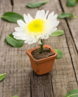 Chrysanthemum - Obrázkek zdarma pro Nokia Asha 300