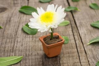 Chrysanthemum - Obrázkek zdarma pro 1200x1024