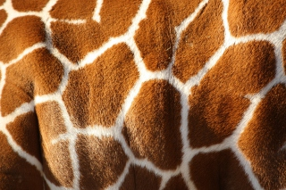 Giraffe Wallpaper for Android, iPhone and iPad