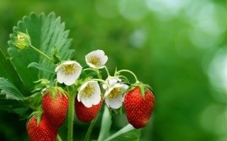 Strawberry Flowers Background for Android, iPhone and iPad