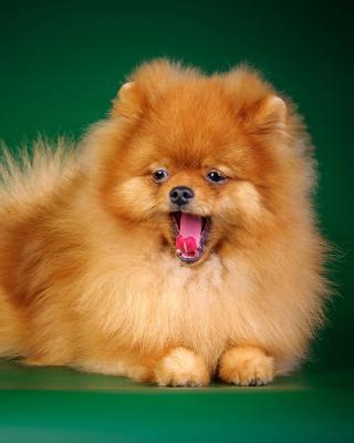 Spitz Dog - Obrázkek zdarma pro iPhone 4S