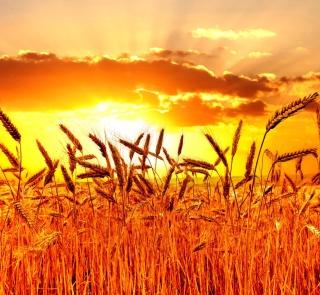 Golden Corn Field - Obrázkek zdarma pro 320x320