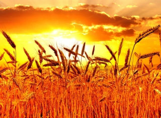 Golden Corn Field Picture for Android, iPhone and iPad